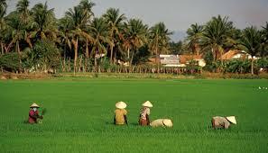 Vietnamska polja